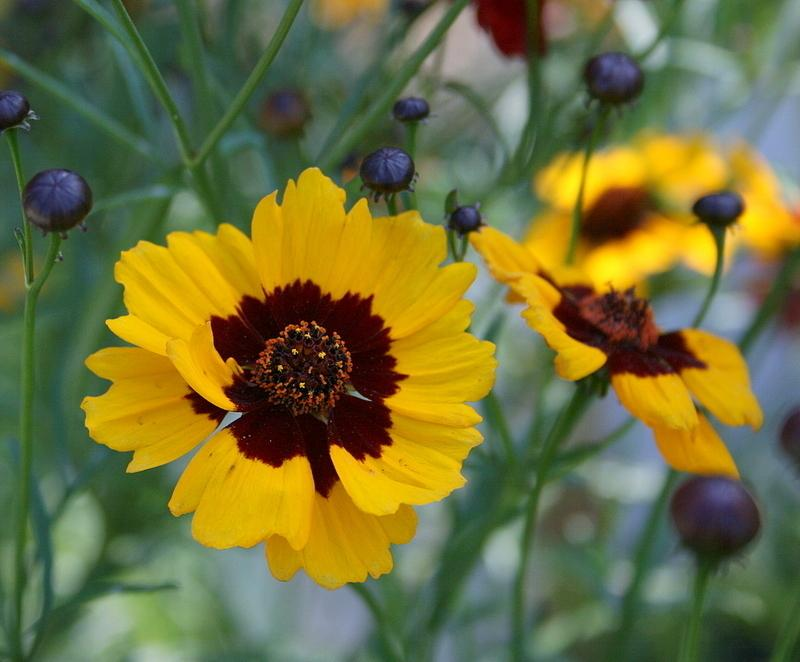 Photo of Plains Coreopsis (Coreopsis tinctoria) uploaded by Calif_Sue
