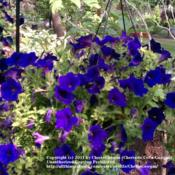 Location: Waukesha, Wi  Date: August 2011one of many purple hanging petunias I keep in my yard during the