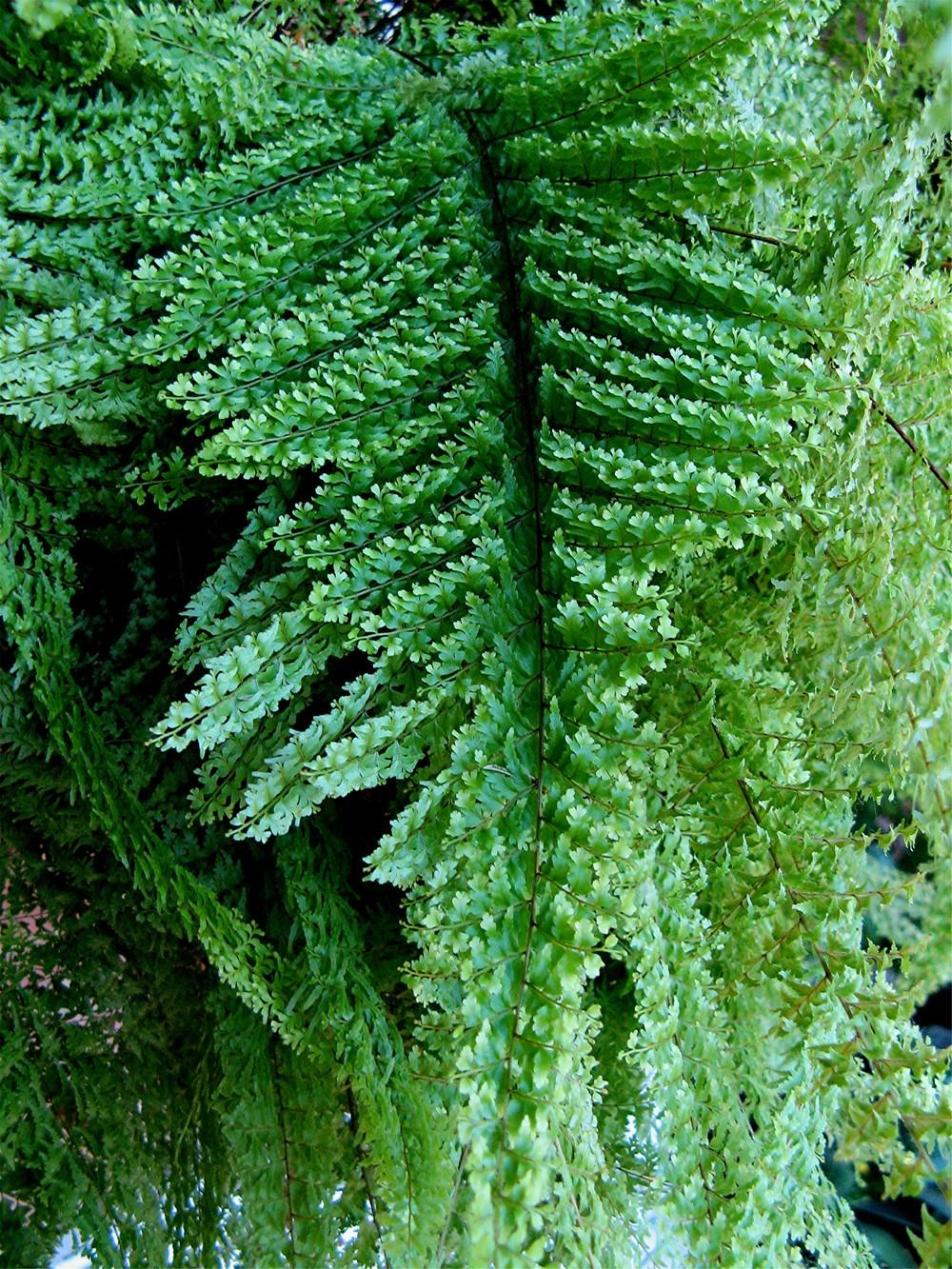 Photo of the leaves of boston fern nephrolepis exaltata - Nephrolepis exaltata ...