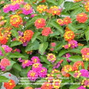 Location: My garden in KentuckyDate: 2008-06-21There are 2 different varieties of Lantana growing in this contai