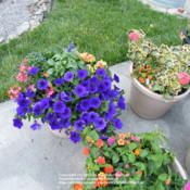 Location: My garden in Northern KYDate: 2008-06-02'Supertunia Royal Velvet' in a mixed container.  The color is act
