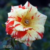 Location: San Jose Heritage Rose GardenDate: 2009-10-15