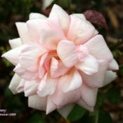 Location: San Jose Heritage Rose GardenDate: 2009-10-19
