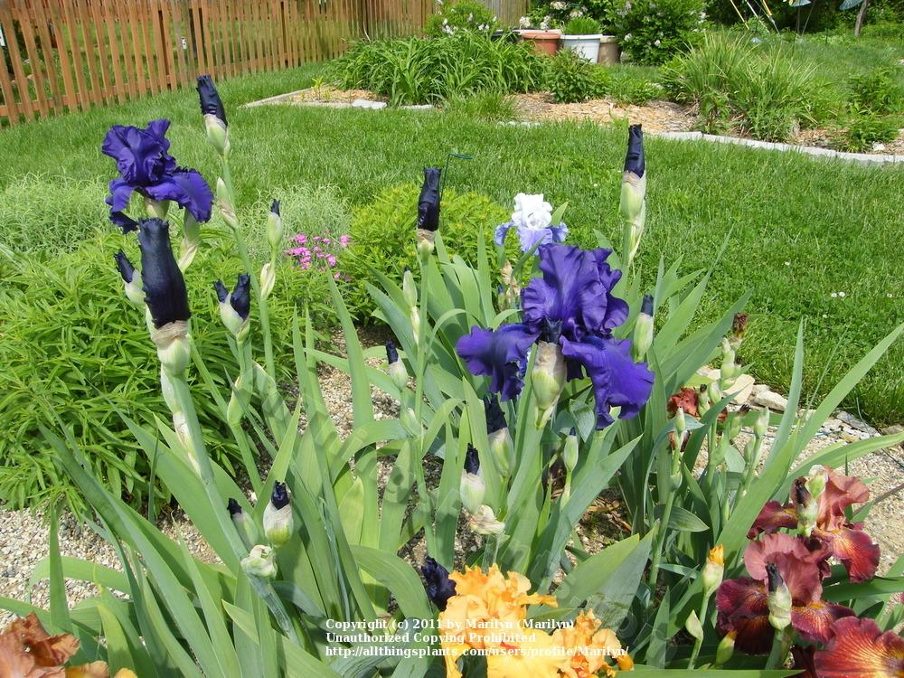 Photo of Tall Bearded Iris (Iris 'Dusky Challenger') uploaded by Marilyn