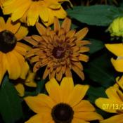 Location: central IllinoisDate: 7-13-06Note the center Rudbeckia.
