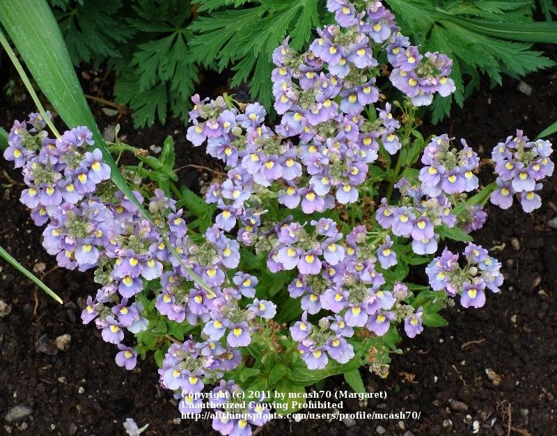 Photo of Nemesia (Nemesia fruticans Innocence® Opal) uploaded by mcash70