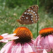 Location: My garden in Northern KYDate: 2006-07-10#Pollination