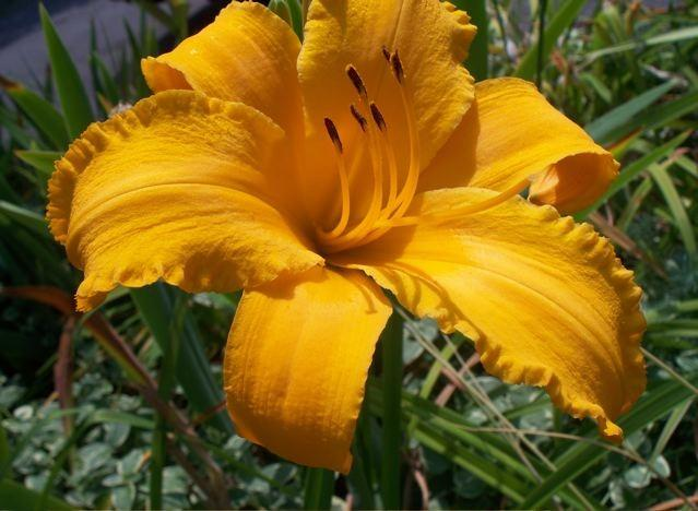 Photo of Daylilies (Hemerocallis) uploaded by Sharon