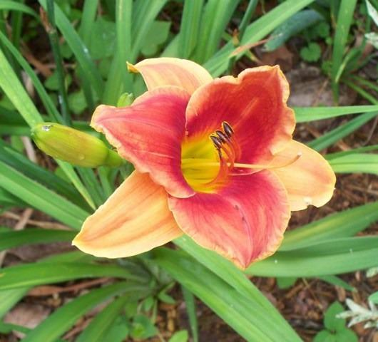Photo of Daylily (Hemerocallis 'Avante Garde') uploaded by Sharon