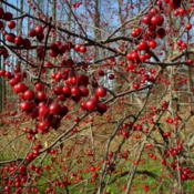 Location: central OhioDate: 2003-11-08 crabapples on a fall day