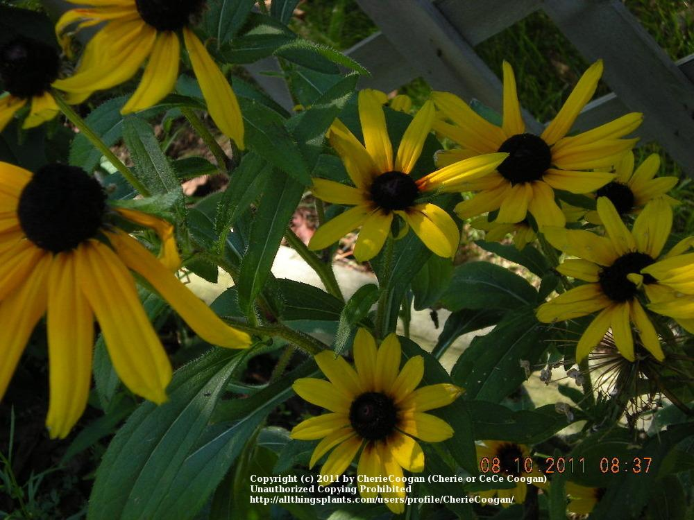 Photo of Black Eyed Susans (Rudbeckia) uploaded by CherieCoogan