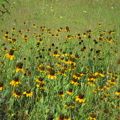 Location: North Texas - Blackland PrairieDate: 2010-05-30Mexican Hats - an American prairie wildflower.