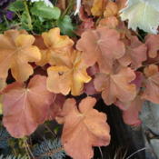 Location: Sunriver Nursery, Orem, UtahDate: 2011-12-03Late fall...early December color