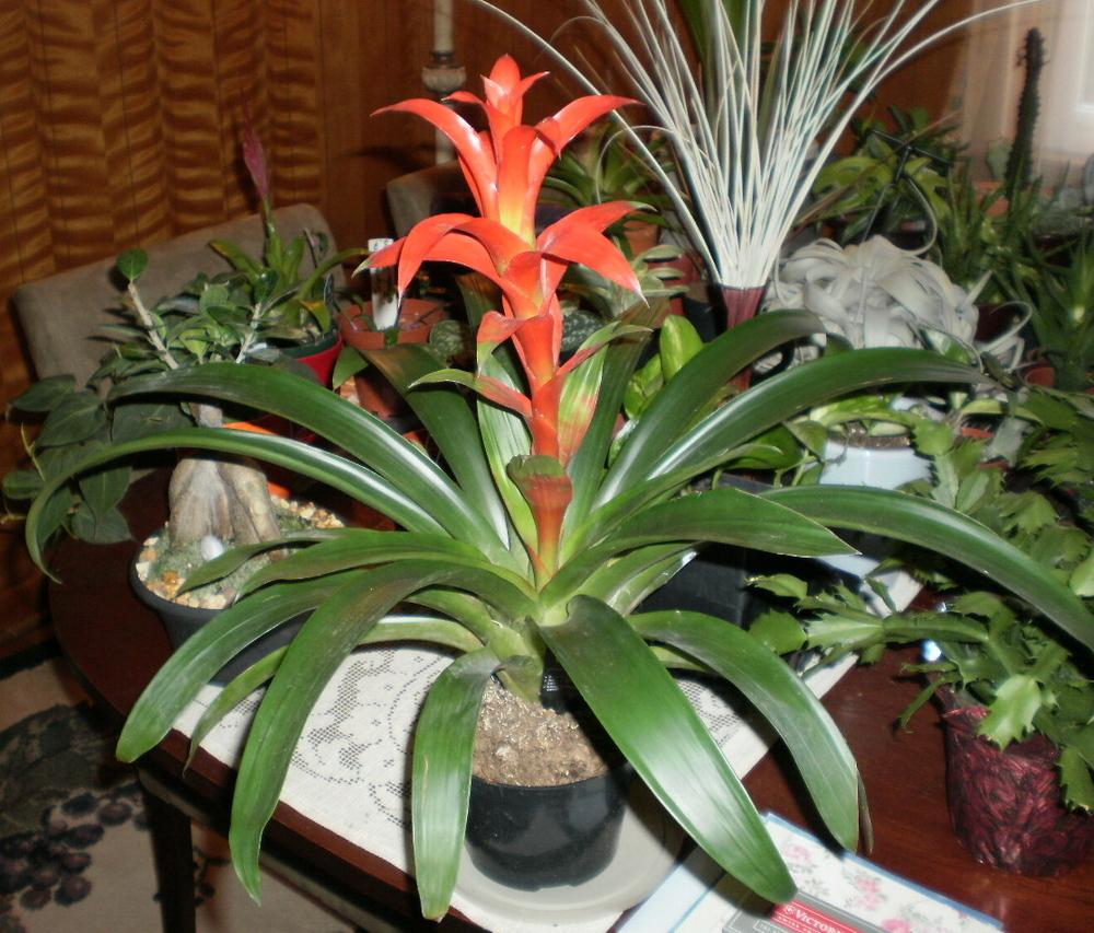 A How-To Guide For Propagating Bromeliads: Tank Bromeliads