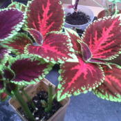 Location: My Basement Date: 2011-12-02Solenostemon (Coleus Blumei)[Overwintered Coleus]