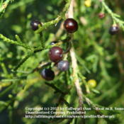 Location: zone 8/9 Lake City, Fl.Date: 2011-12-01ripe fruit