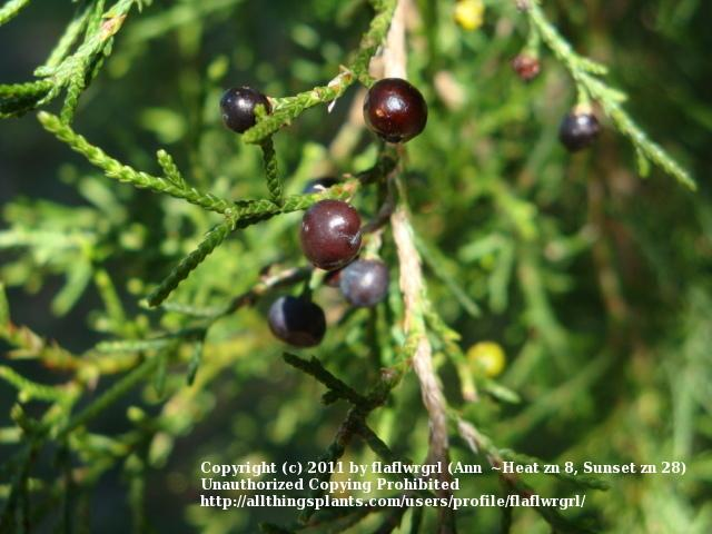 Photo of Eastern Red Cedar (Juniperus virginiana) uploaded by flaflwrgrl