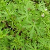 Location: Waynesboro MSDate: 2005-03-27Not to be confused with the cultivated Pelargonia that