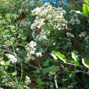 Location: Medina Co., TexasDate: Fall 2008White Mistflower with fall butterflies
