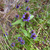 Location: No.Calif amongst the RedwoodsDate: 2009 JulyPrunella vulgaris in the wild