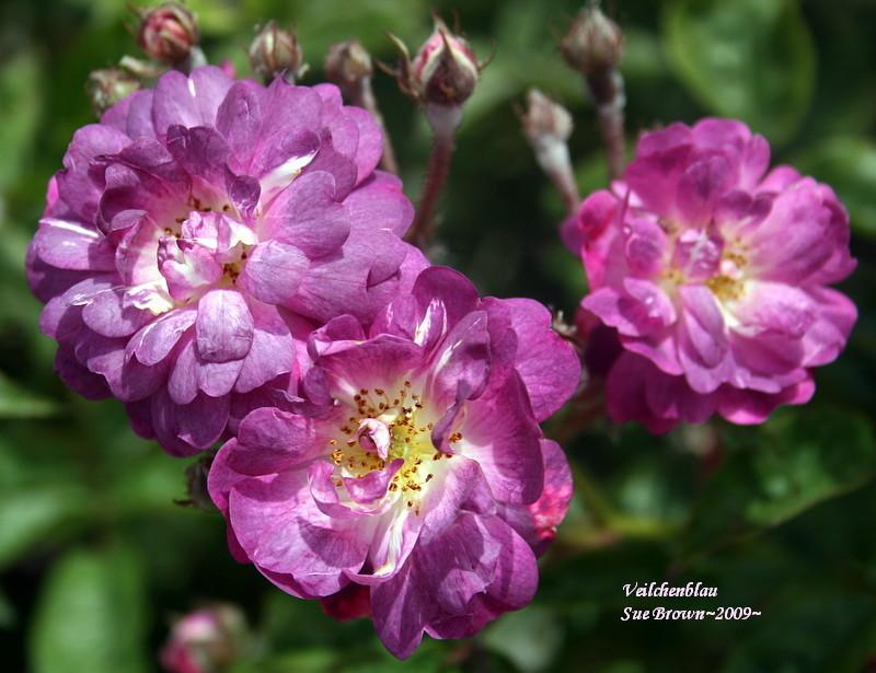 Photo of Rose (Rosa 'Veilchenblau') uploaded by Calif_Sue