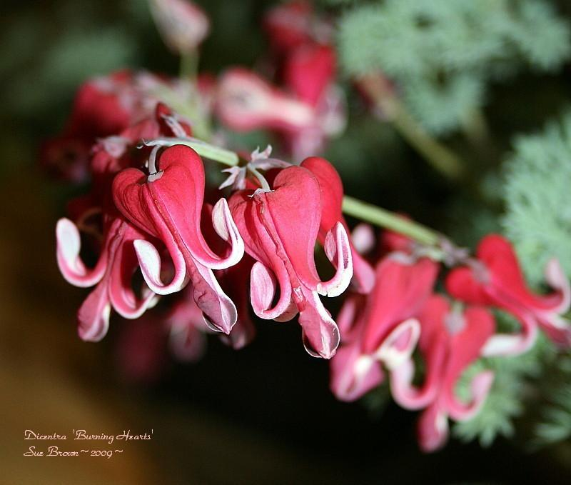 Bleeding Heart bloom