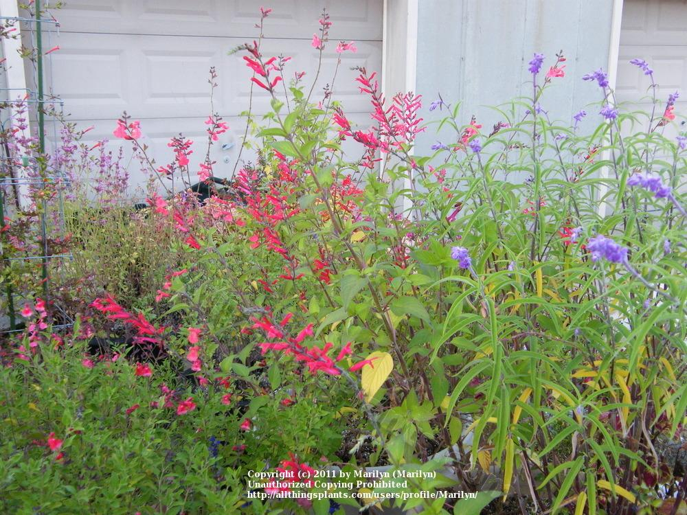 Photo of Pineapple Sage (Salvia elegans) uploaded by Marilyn