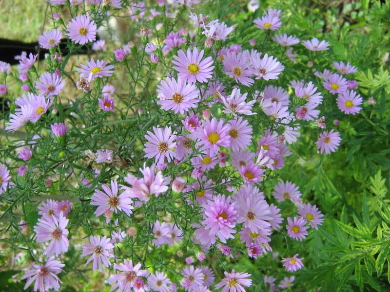 Photo of Asters (Aster) uploaded by gardengus