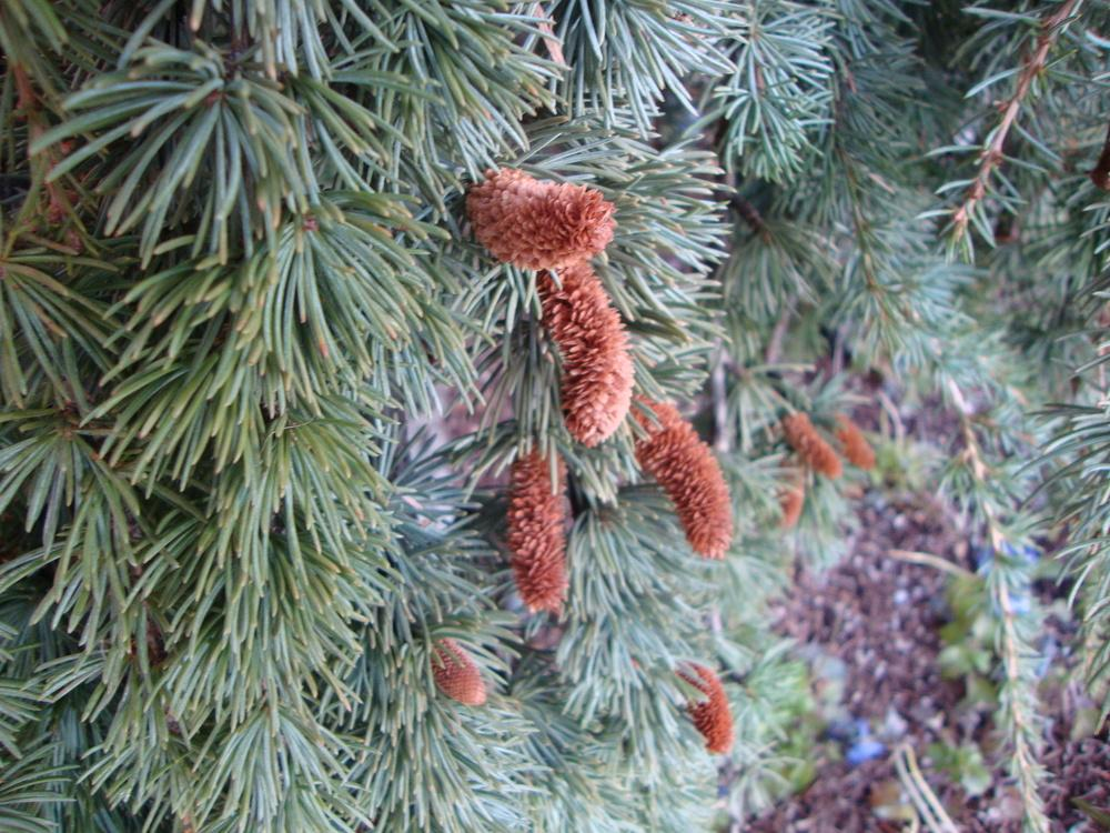 Photo Of The Seed Pods Or Heads Of Weeping Blue Atlas