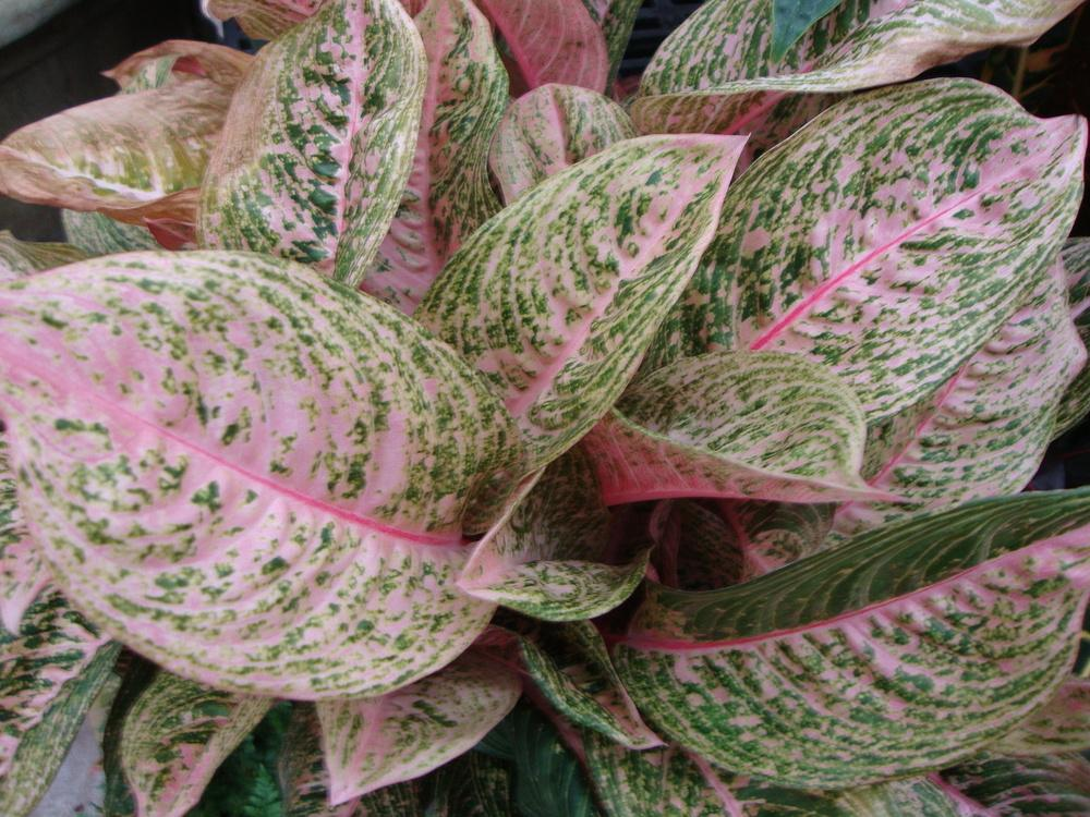 Photo Of The Leaves Of Chinese Evergreen Aglaonema Pink