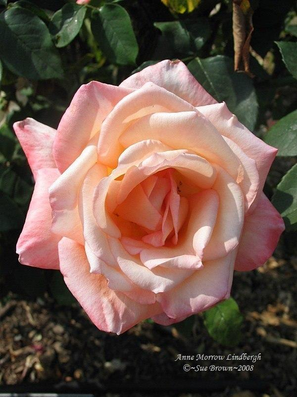 Photo of Rose (Rosa 'Anne Morrow Lindbergh') uploaded by Calif_Sue