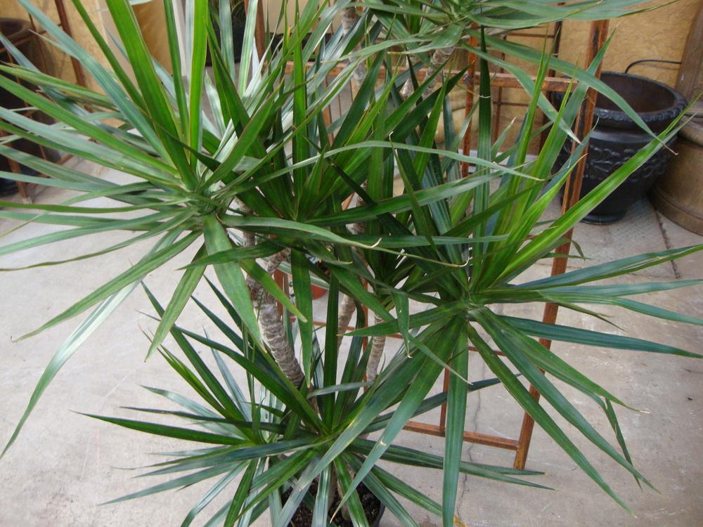 Photo of Dragon Tree (Dracaena marginata) uploaded by Paul2032
