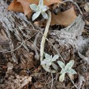 Location: Fountain, FloridaDate: 2011-12-10growing on a piece of wood