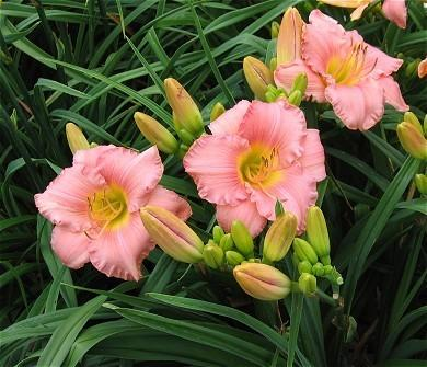 Photo of Daylily (Hemerocallis 'Silken Touch') uploaded by vic