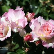 Location: San Jose Heritage Rose GardenDate: 2008-05-28