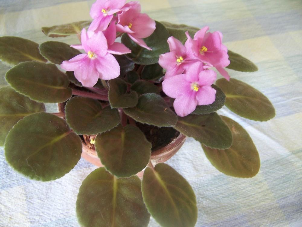 Photo of African Violets (Saintpaulia) uploaded by HollyAnnS