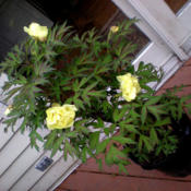 Location: Part Shade Zone 6Date: 2009-05-23Just purchased as Mothersday Plant.