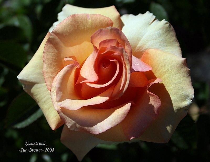 Photo of Rose (Rosa 'Sunstruck') uploaded by Calif_Sue