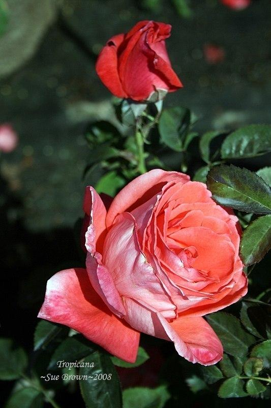 Photo of Rose (Rosa 'Tropicana') uploaded by Calif_Sue