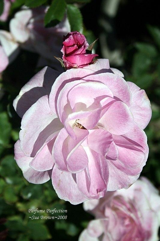 Photo of Rose (Rosa 'Cotillion') uploaded by Calif_Sue
