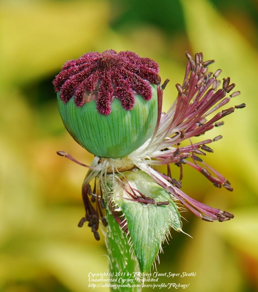Photo Of The Seed Pods Or Heads Of Oriental Poppy Papaver Orientale