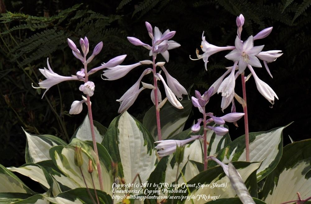 Photo of Hosta 'Fire and Ice' uploaded by JRsbugs