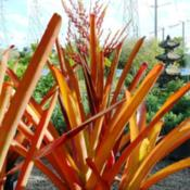 Location: Living Color Garden Center, Ft. Lauderdale, FLDate: 2011-12-10Nice Structure 4' Shown in 2 Gallon Pot