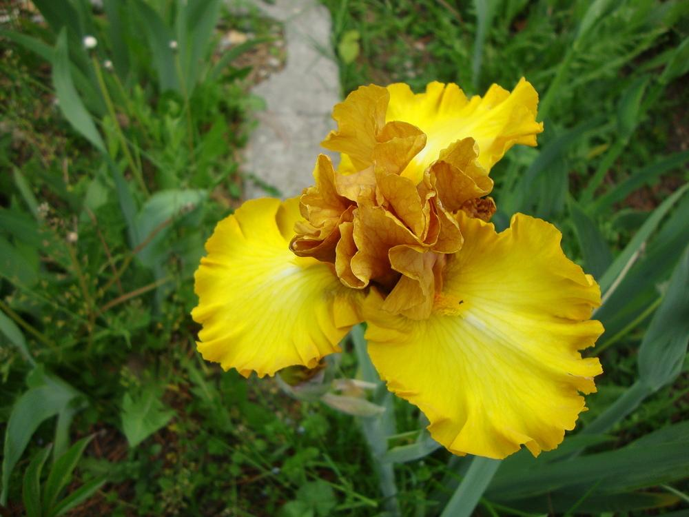 Photo of Tall Bearded Iris (Iris 'Nouveau Riche') uploaded by Paul2032