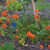 Location: Southwest FloridaDate: fall 2010These have naturalized nicely under my plumeria tree. Blooming wh