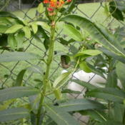 Location: Middle TennesseeDate: 2011-09-02This plant is a host plant for the Monarch butterfly