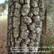 Location: zone 8/9 Lake City, Fl.Date: 2011-12-17more mature tree showing block pattern in trunk