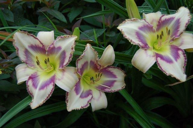Photo of Daylily (Hemerocallis 'Destined to See') uploaded by vic