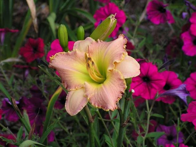 Photo of Daylily (Hemerocallis 'Debbie's Vows') uploaded by vic