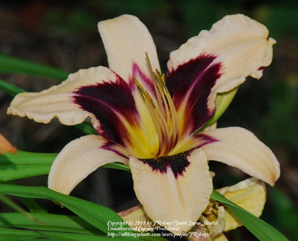 Photo of Daylily (Hemerocallis 'Egyptian Queen') uploaded by JRsbugs